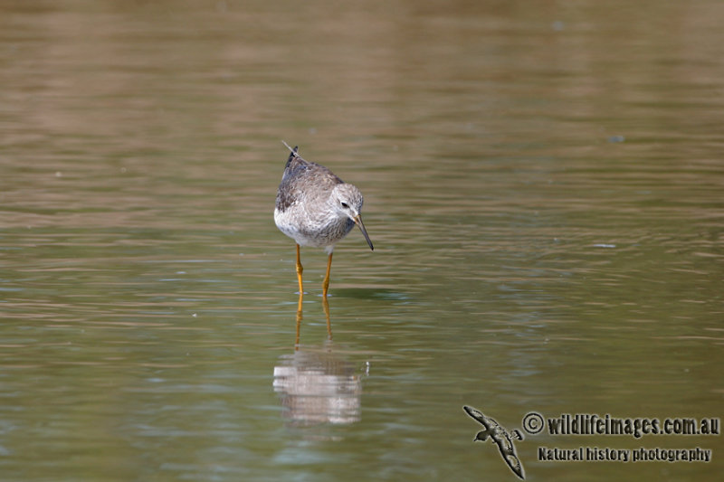 Lesser Yellowlegs a3818.jpg