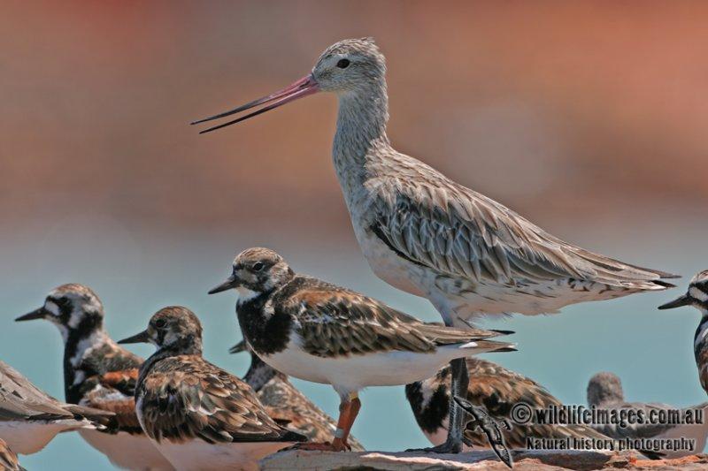 Bar-tailed Godwit a5820.jpg