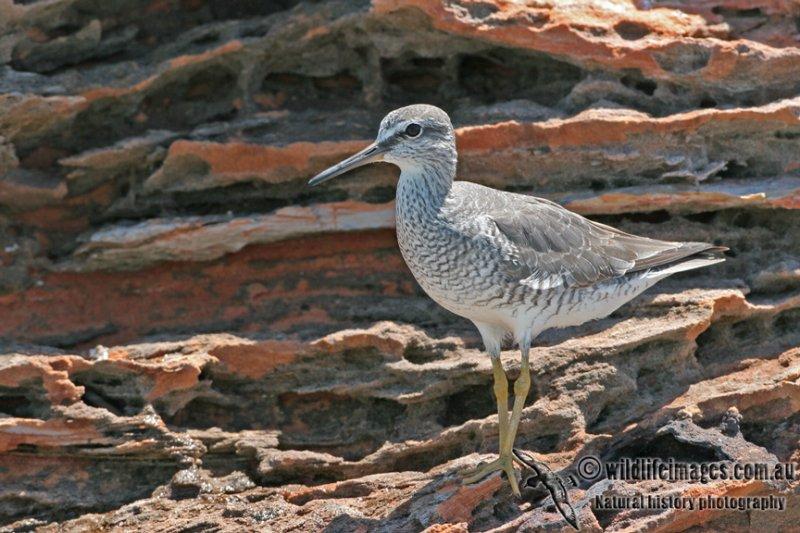 Grey-tailed Tattler a5812.jpg