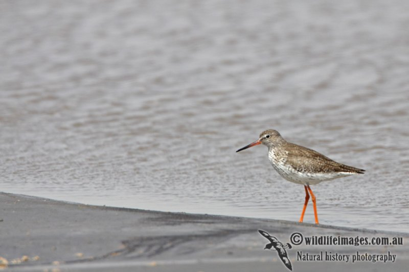 Common Redshank a8426.jpg