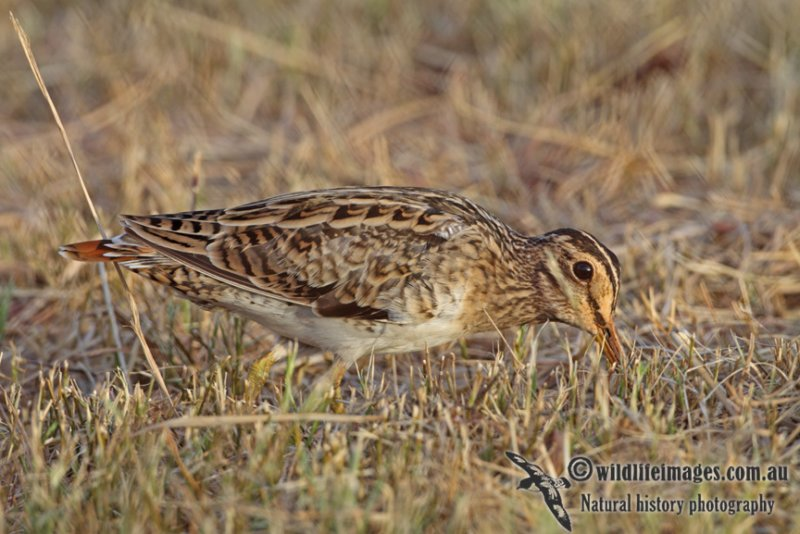 Swinhoes Snipe a4894.jpg