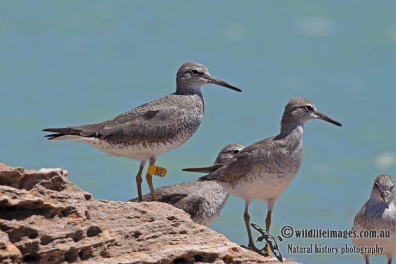 Grey-tailed Tattler a5285.jpg