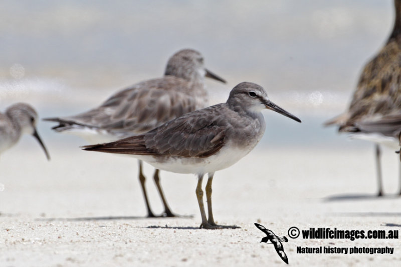 Grey-tailed Tattler 9073.jpg