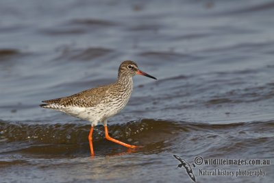Common Redshank a0182.jpg
