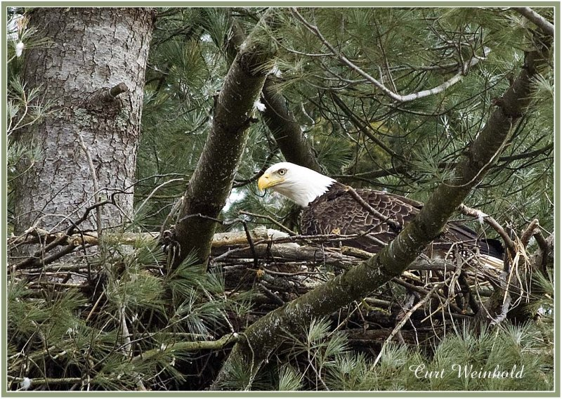 Eagle on nest 2Ae
