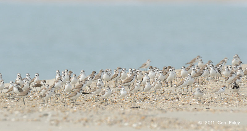 Plover, Lesser Sand @ Changi