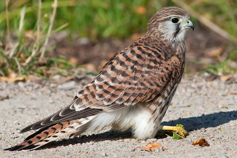 Falco tinnunculus Common Kestrel with a cricket
