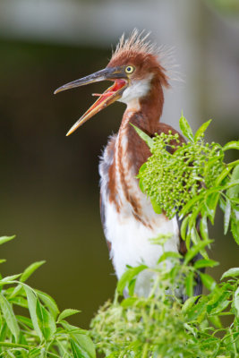 Tricolored Heron Chick-Gatorland Orlando.jpg