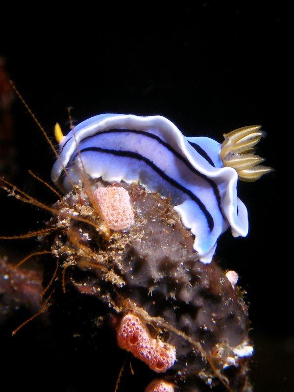 Chromodoris lochi (Rudman, 1982)
