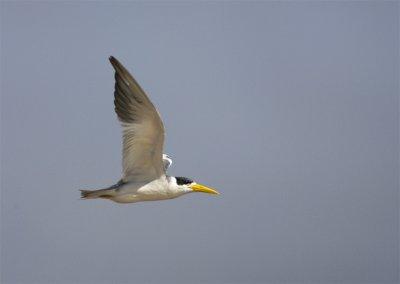 Large-billed-Tern.jpg