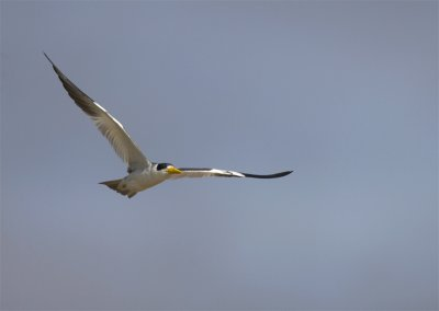 Large-billed-Tern2.jpg