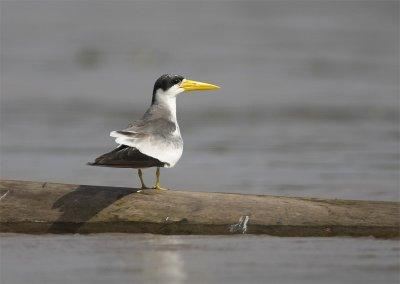 Large-billed-Tern4.jpg