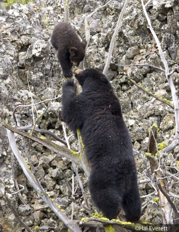 Black Bear Mother and Cub of the Year