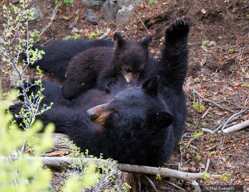 Black Bear Sow Nursing Cub