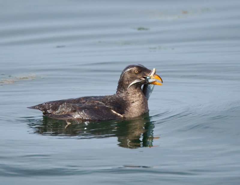 Rhinocerus Auklet (side view) With Another Herring