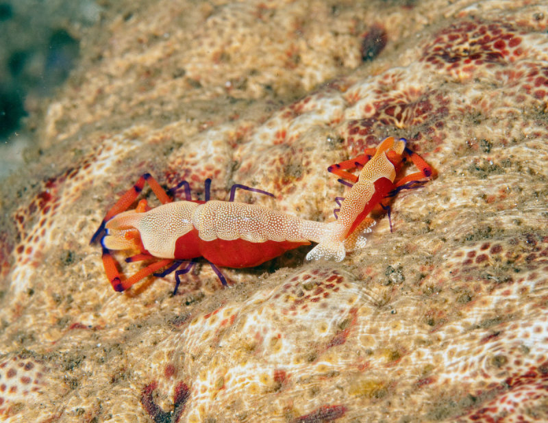 Emmperor Shrimp (Periclemes imperator) ,Rding on Sea Cucumber