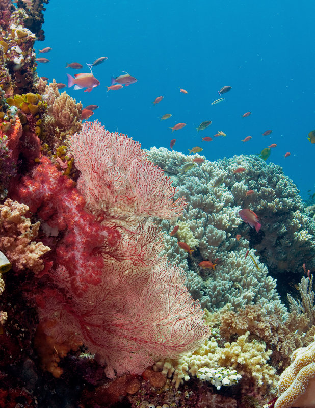Soft Coral (red),  Sea Fan Coral (pink), and Hard Coral (gray)