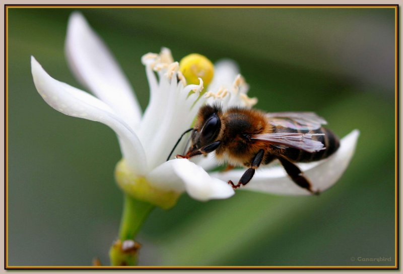 bee in citrus flower