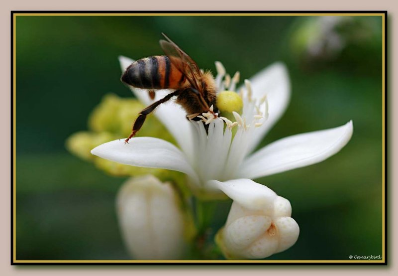 bee on citrus 2