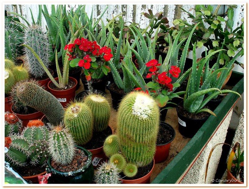 cactii & euphorbia