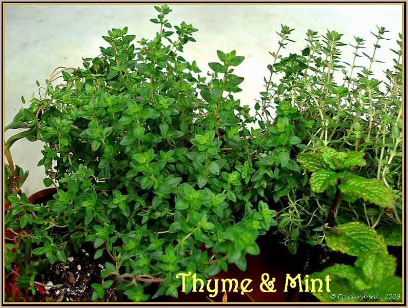 thyme & mint
