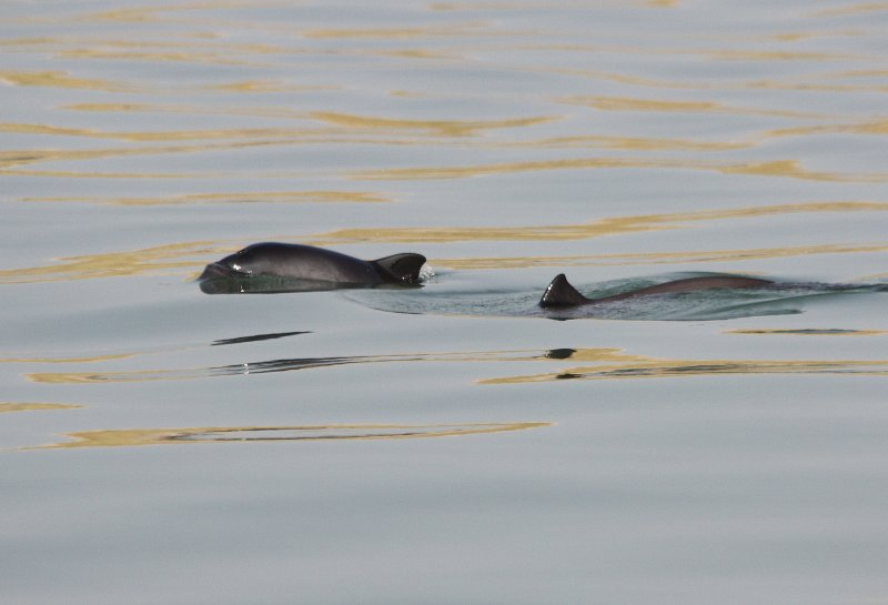 Harbour Porpoise / Bruinvis - mother and calf II
