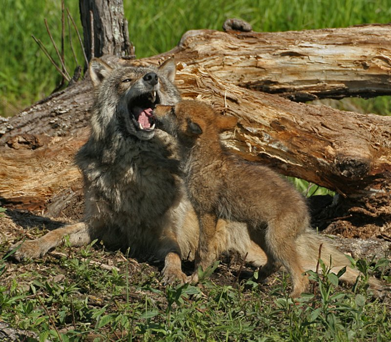 Wolf Providing Pup Food