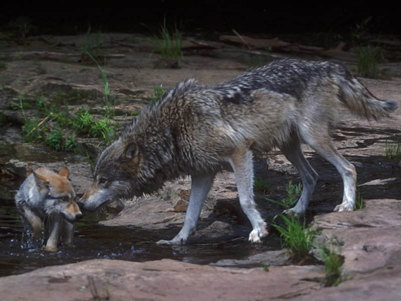 Wolf Pups River Play
