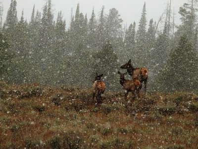 Toughing it out, Yellowstone National Park, Wyoming, 2008