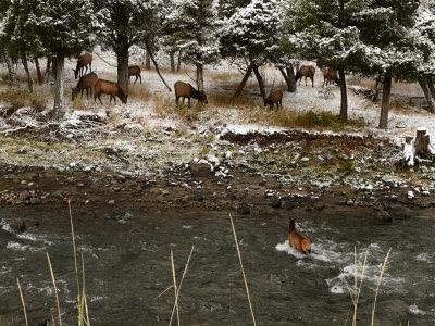 Grazing elk, Gardner River Canyon, Yellowstone National Park, Montana, 2008