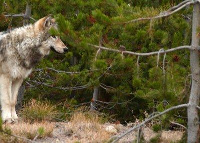 Gray Wolf, Yellowstone National Park, Wyoming, 2008
