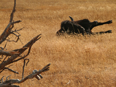 Stretching, Yellowstone National Park, Wyoming, 2008