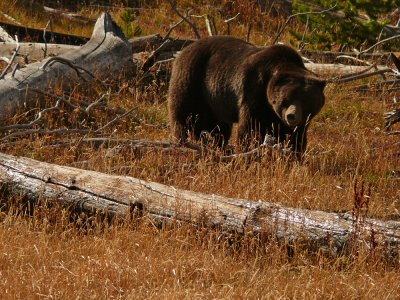 Grizzly, Yellowstone National Park, Wyoming, 2008
