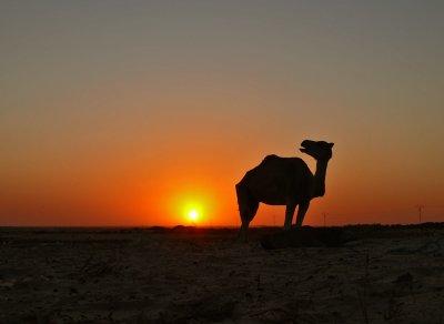 Camel's call, Douze, Tunisia, 2008