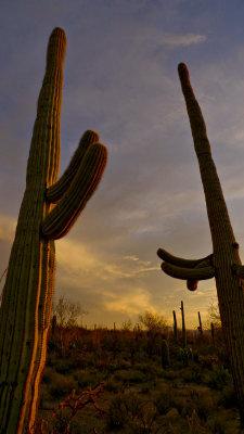 Old friends, Saguaro National Park, Tucson, Arizona, 2009