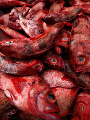 Red Snapper, Fort Bragg, California, 2009
