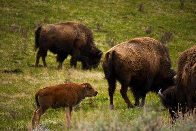 Newborn bison calf, Yellowstone National Park, 2010