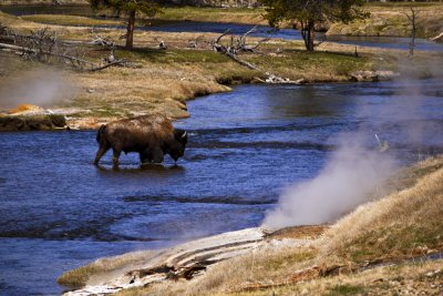 Bison on the Firehole, Yellowstone National Park, 2010