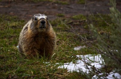 Marmot, Yellowstone National Park, Wyoming, 2010