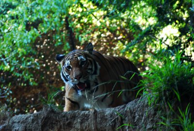 Same tiger, different view, San Diego Zoo, San Diego, California, 2010