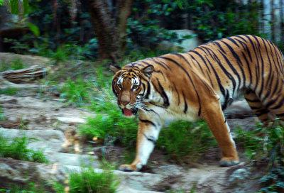 Malay Tiger, San Diego Zoo, San Diego, California, 2010