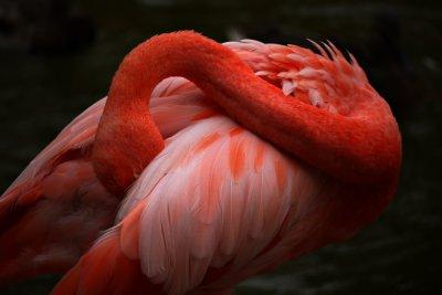 Flamingo, San Diego Zoo, San Diego, California, 2010