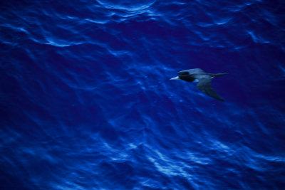 Booby in flight, Off the Brazilian coast, 2010