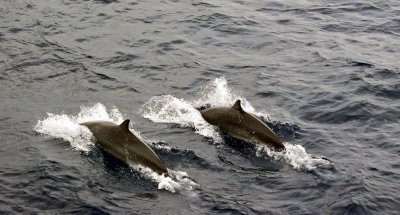 Dolphin pair, off Dominica, French West Indies, 2010