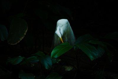 Great Egret, Botanical Garden, Belem, Brazil, 2010