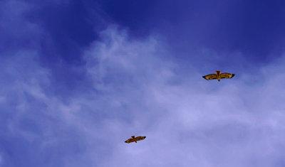 Hawks aloft, Phoenix, Arizona, April 2012