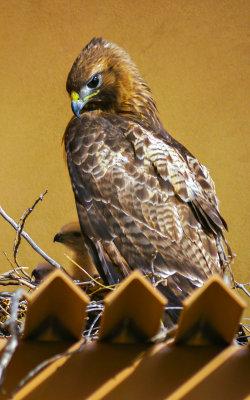 Newborn nestlings appear, Phoenix, Arizona, April, 2012