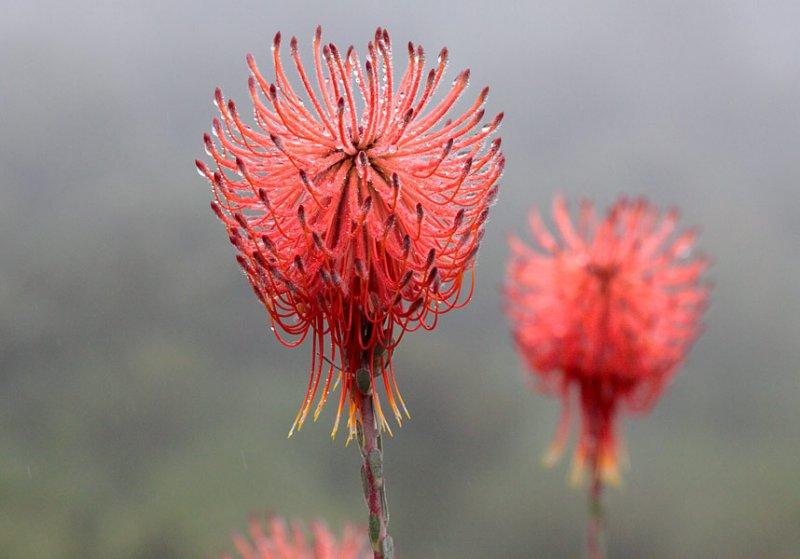 Protea ssp.