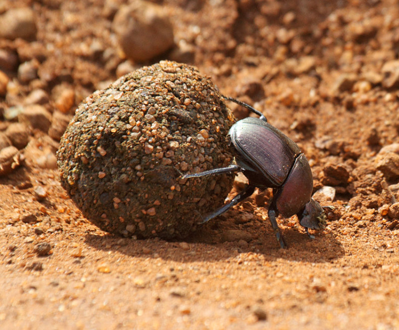 Dung beetle sp.Scarabaeidae sp.(Kenya)