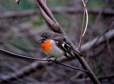 Scarlet Robin (female)